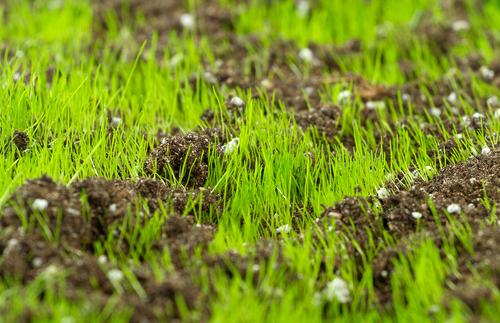 Greentech offers overseeding and slice seeding services to fill in bare spots and rejuvenate your lawn.