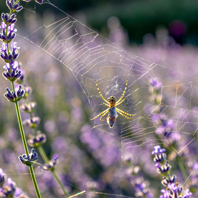 lavender is a natural bug repellant
